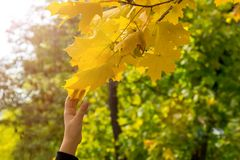Ein Kind zerreißt ein Blatt von einem Baum Lizenzfreie Stockfotografie