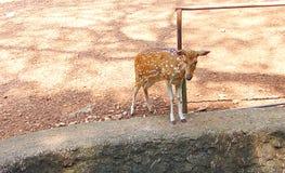 Ein Kitz einer beschmutzten Achse der Rotwild/Chital/Cheetal/Axis Lizenzfreies Stockfoto