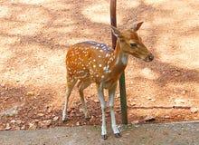 Ein Kitz einer beschmutzten Achse der Rotwild/Chital/Cheetal/Axis Stockbild