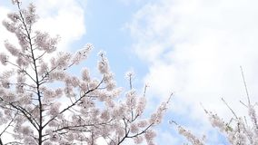 Ein klarer Himmelhintergrund, eine blühende Kirschblüte, die in den Wind beeinflußt Mit Kopienraum stock video footage