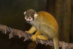 Ein kleiner Affe, der auf einem Seil sitzt  Lizenzfreie Stockbilder