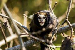 Ein kleiner Affe, der weißes ohriges Seidenäffchen nennt Stockfotografie