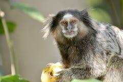 Ein kleiner Affe mit einem traurigen Blick Stockbilder