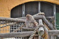 Ein kleiner Affe mit Mutter Stockbild