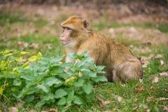 Ein kleiner Affe sitzt auf der grünen Wiese Stockfotos