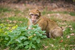 Ein kleiner Affe sitzt auf der grünen Wiese Lizenzfreies Stockbild