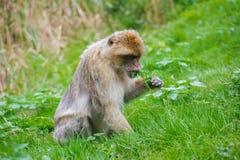 Ein kleiner Affe sitzt auf der grünen Wiese Lizenzfreies Stockfoto