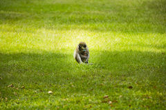 Ein kleiner Affe und ein Wasserhahn Lizenzfreies Stockbild