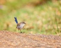 Ein kleiner blauer angebundener Zaunkönig stockbild