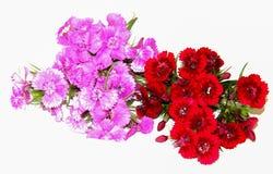 Ein kleiner Blumenstrauß von den feinen Burgunder-Spraygartennelken lokalisiert auf Weiß stockfoto
