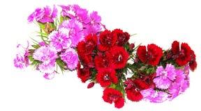 Ein kleiner Blumenstrauß von den feinen Burgunder-Spraygartennelken lokalisiert auf Weiß stockfotos