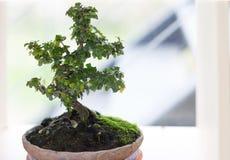 Ein kleiner Bonsaibaum der boughing Niederlassungen und Broschüre in einem pott lizenzfreie stockfotos