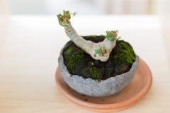 Ein kleiner Bonsaibaum der boughing Niederlassungen und Broschüre in einem pott stockfoto