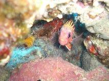 Ein kleiner farbiger Fisch in seinem Versteck Lizenzfreie Stockfotografie