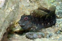 Ein kleiner Fisch kommt auf den Felsen heraus Stockbilder