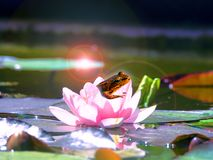 Ein kleiner Frosch in einer Lotosblume in den Strahlen lizenzfreies stockbild