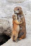 Ein kleiner Gopher küsst seine Mutter Stockfotos