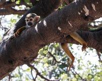 Ein kleiner grüner Affe Stockfotos