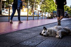 Ein kleiner Hund, der auf der Straße zwischen den Füßen des Leutegehens gemächlich liegt, ohne den Straßenhund zu beschmutzen Stockfoto