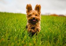 Ein kleiner Hund, der in das Gras läuft lizenzfreie stockfotos
