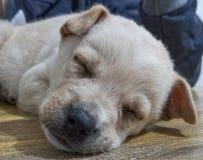 Ein kleiner Hund, der ein Schläfchen hält stockfoto