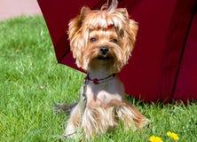 Ein kleiner Hund-Yorkshire-Terrier unter einem roten Regenschirm Stockbilder