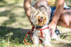 Ein kleiner Hundesitzendes Sitzen Yorkshires Terrier nahe den Füßen seines Eigentümermädchens Stockbild