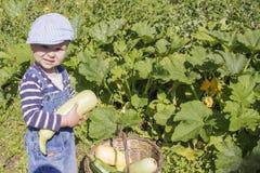 Ein kleiner Junge sammelt die Zucchini Lizenzfreies Stockfoto