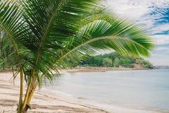 Ein kleiner Kokosnussbaum auf dem Strand Lizenzfreies Stockfoto