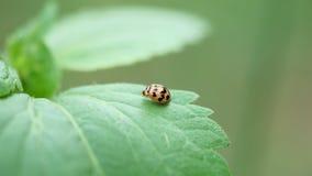 Ein kleiner netter Marienkäfer über grünem Blatt Stockfotos