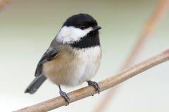 Ein kleiner netter Vogel nannte einen Schwarz-mit einer Kappe bedeckten Chickadee stockfotografie