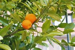 Ein kleiner orange Mandarinenbaum mit zwei Früchten im Gartenesprit Stockfotografie