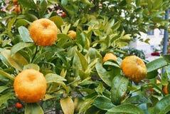 Ein kleiner orange Mandarinenbaum mit zwei Früchten im Gartenesprit Lizenzfreie Stockfotos