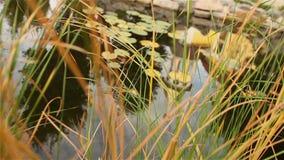 Ein kleiner Parkteich, dekorativer Teich, dekorative Brücke über einem Teich, Seerosen im Wasser, auf dem Hintergrund stock video footage