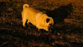 Ein kleiner Pug von Konfuciy ist stealthily im Gras in den Strahlen der Sonne lizenzfreies stockfoto