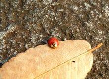 Ein kleiner roter Marienkäfer, der auf einem trockenen gefallenen Blatt klettert Stockfotografie