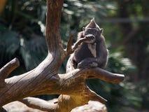 Ein kleiner schwarzer Affe mit einem großen Kamm der Wolle auf seinem Kopf auf einem starken Klotz, der Stamm eines Baums gegen e Lizenzfreies Stockbild