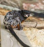 Ein kleiner schwarzer Affe mit einem langen Schwanz im Zoo Stockfoto
