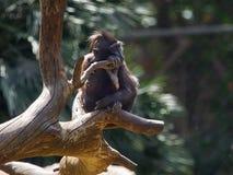 Ein kleiner schwarzer Affe mit einer Wolle auf seinem Kopf sitzt auf einer starken Niederlassung eines trockenen Baums, Tel Aviv, Lizenzfreie Stockfotos