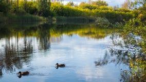 Ein kleiner See im Park, die gelb färbenden Bäume entlang dem Ufer Wildenten, die auf dem See schwimmen Die Reflexion des Himmels Lizenzfreies Stockfoto