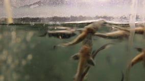 Ein kleiner Stör auf einer Fischfarm stock footage