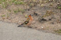 Ein kleiner Stadtvogel - Buchfink auf dem parway Stockfoto