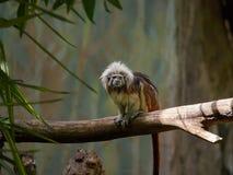 Ein kleiner Tamarin mit Haube, ein Spielzeugaffe auf einer starken Niederlassung eines Baums in einem Regenwald Stockbild