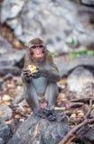 Ein kleiner thailändischer wilder Affe hat rohen Mais und sitzt auf einem Roc Lizenzfreie Stockfotos