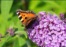 Ein kleiner Tortioseshell-Schmetterling auf einem buddlia Lizenzfreies Stockfoto