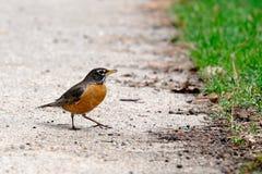 Ein kleiner Vogel auf einem Boden Stockfotos