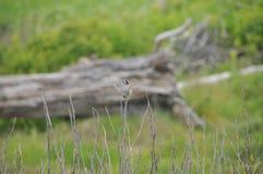 Ein kleiner Vogel auf einer Winter-Niederlassung - Weiß gekrönter Spatz Stockfotografie