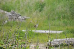 Ein kleiner Vogel auf einer Winter-Niederlassung - Weiß gekrönter Spatz Stockfoto