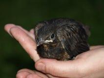 ein kleiner Vogel in der Hand Stockbild
