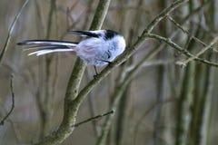 Ein kleiner Vogel mit einer Schwanzmeise sitzt auf einer Niederlassung und verbiegt seinen Kopf Lizenzfreies Stockfoto